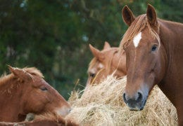 Suffolk Punch Thumbnail