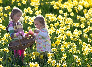 Hunt for chocolate eggs amongst the Daffodils this Easter holiday